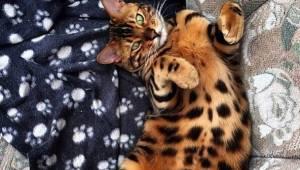 Poznajcie Thora, kota bengalskiego, który podbija cały internet. Jest przepiękny