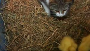 Zobaczyła kotkę niosącą kaczątko w pysku, jednak nie spodziewała się tego czego