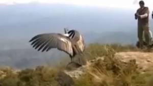 Majestatyczny kondor zostaje wypuszczony na wolność po tym jak został uratowany.