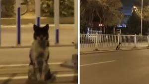 Pies siedzi ruchliwej drodze od ponad 80 dni i czeka na swoją panią, która zginę