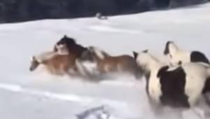 Konie zostały wypuszczone na polane pełną śniegu. Zachowują się zupełnie jak mał