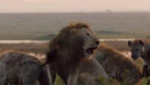 Lew był gotów na śmierć otoczony przez stado hien, wtedy niespodziewanie przysze