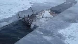 Jeleń wpadł do zamarzniętej rzeki na Syberii, uratowanie go było bardzo trudnym