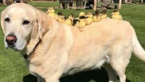 9 uroczych kaczuszek straciło mamę. Wtedy uroczy labrador o imieniu Fred stanął