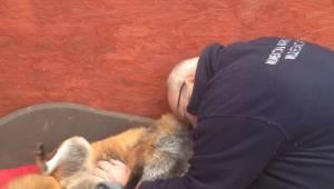 Mężczyzna uratował lisa siedem lat temu, zobacz poruszające nagranie jak zwierzę