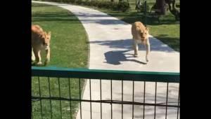 Kobieta uratowała małe lwy, ale później musiała je oddać do rezerwatu. Siedem la