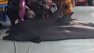 Nagranie pokazuje jak delfiny są nękane by zabawić turystów. To powinno się skoń