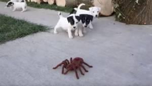 Urocze szczeniaki napotkały zabawkowego pająka, ich reakcja rozbawi każdego!
