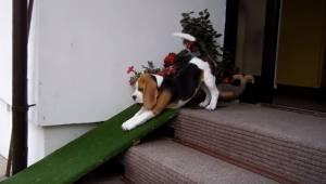 Uroczy beagle nie ma ochoty schodzić ze schodów więc robi coś naprawdę uroczego.