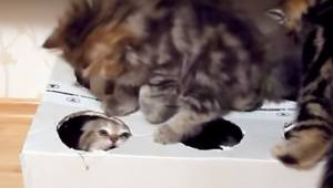 Właściciel wyciął dziury w pudełku i dał swoim kociętom do zabawy. Ich reakcja p