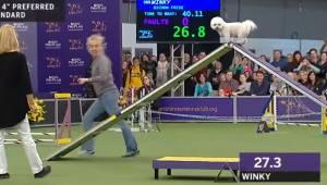 Pies przegrywa wyścig, jednak styl w jakim pokonał trasę sprawia, że mówi o nim