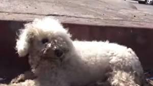 Malutki pies został pozostawiony na śmierć na ulicy w Los Angeles. To jak wygląd