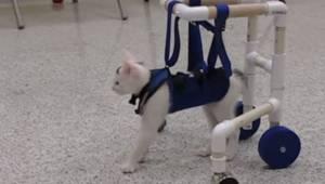Kot ze schroniska dla zwierząt nie może chodzi, wtedy właściciele dają mu chodzi