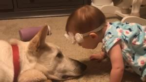 Dziewczynka zbliża się do psa by dać mu buziaka, jej ojciec nie spodziewał się t