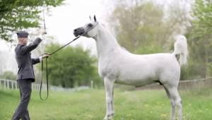 Ten koń jest wart 1 400 000 EUR... Zobacz tylko gdy zacznie galopować!