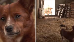 Zrozpaczony pies jest rozdzielony od krowy z którą się wychował. Zobacz chwilę g