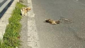 Bezradny szczeniak czekał kilka dni aż jego martwa mama podniesie się z ziemi. W