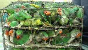 Ochotnicy zmieniają się w bohaterów ratujących setki ptaków uwięzionych w metalo