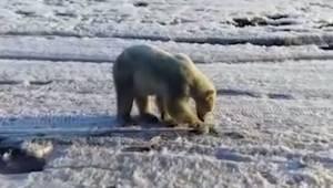 Niedźwiedź polarny zgubił drogę i znalazł się setki kilometrów od swojego natura