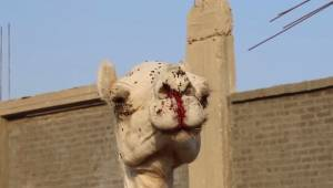 Mrożące krew w żyłach nagranie pokazuje jak są traktowane zwierzęta w popularnym
