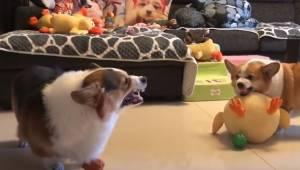 Sposób w jaki kłócą się te dwa otyłe psy to coś co musisz zobaczyć!