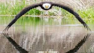Imponujące zdjęcie bielika amerykańskiego robi prawdziwą furorę w sieci. Zobaczc