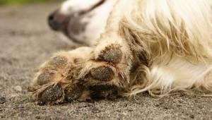 W pełni zdrowy pies zmarł zaraz po spacerze. Przeczytaj ostrzeżenie weterynarza,