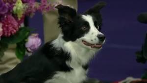 Podczas zawodów sportowych pies tylko czeka na znak od swojej pani. W końcu robi