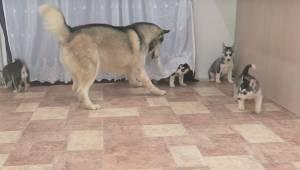 Tatuś husky jest bardzo podekscytowany gdy widzi swoje szczenięta. Zobacz jego r