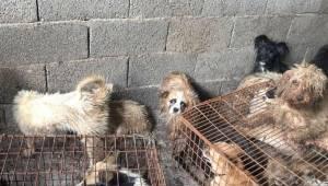 Psy są torturowane i zabijane aby stać się jedzeniem na tym nieludzkim festiwalu