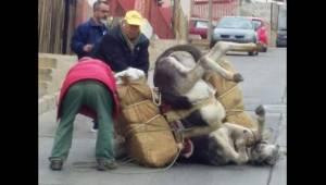 Osioł upada na ulicy, ponieważ nie daje już rady nieść ciężkiego ładunku. To zdj