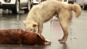 Zdesperowany pies na środku drogi próbuje obudzić swojego kolegę, który zginął p