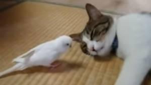 Ptak podchodzi do śpiącego kota. Zobacz koniecznie reakcję obudzonego kota! Coś