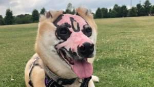 Inspirująca historia: pies ciężko ranny w pożarze teraz będzie pomagał w terapii