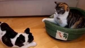 Bardzo uparty kot nie chce opuścić posłania psa. Reakcja psa rozbawi każdego!