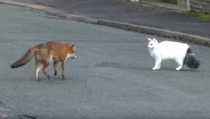 Wyglądało jakby lis miał zaatakować kota, ale nagle sytuacja przybrała nieoczeki