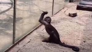 Odwiedzający zoo są świadkami jak małpka ostrzy kamień, a następnie rozbija nim