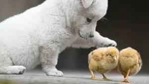 Uroczy szczeniak bawiący się z pisklętami to coś co poprawi humor każdemu!