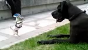 Malutka chihuahua spotkała na spacerze doga niemieckiego, to co stało się potem