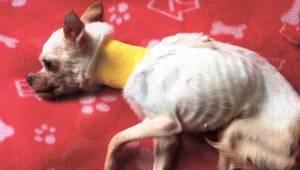 Ten malutki chihuahua umierał z głodu na ulicy... Na szczęście w ostatniej chwil