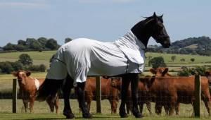 Wspaniały koń spostrzega, że stado krów uważnie mu się przygląda, więc postanawi