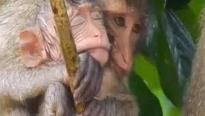 Niezwykle poruszające nagranie: małpka chroni swoją przerażoną córeczkę podczas
