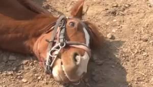 Koń zachwycił internautów tym jak uroczo potrafi wymigać się od pracy. Jest świe