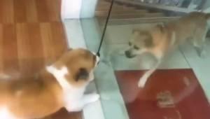 Dwa psy zajadle szczekają na siebie przez szklane drzwi. Ich reakcja po otwarciu