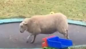 Owca weszła na trampolinę, to co zrobiła chwilę później rozbawiło miliony intern