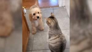 Szczeniak nie może przejść, bo kot nie chce go przepuścić. To co robi piesek roz