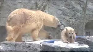 Czteromiesięczny niedźwiadek wpadł do wody! To, co wtedy zrobiła jego mama, jest